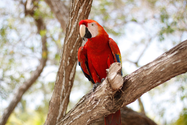 Honduran National Bird, Scarlet Macaw at Utila